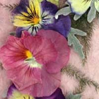 pansy200px